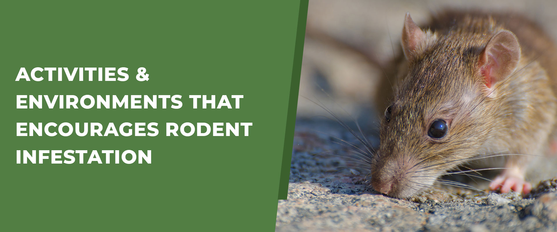 Activities And Environments That Encourages Rodent Infestation